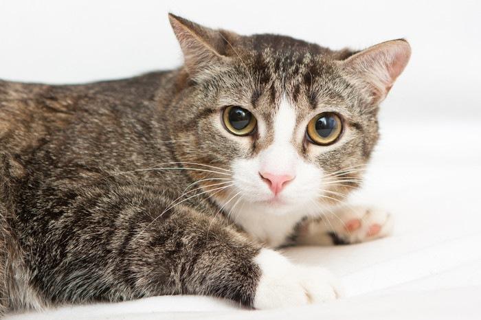 耳を下げる猫の写真