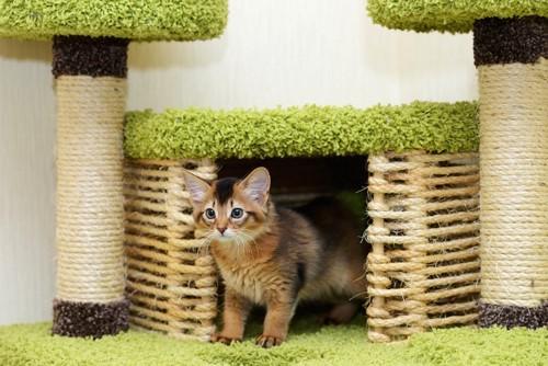 キャットタワーのハウスから出てくるソマリの子猫
