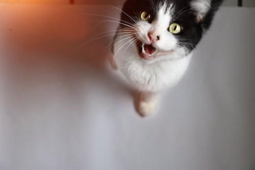 こちらを見上げて鳴く猫