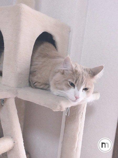 キャットツリーのハウスに入り、顔だけ出してつちのこ猫をする猫