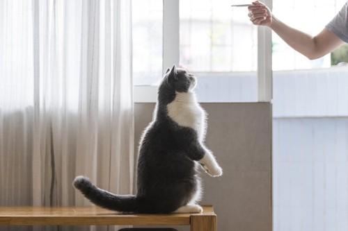 猫におやつを見せる人の手と二本足で立つ猫