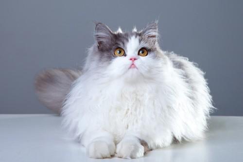 伏せをして見上げるペルシャ猫