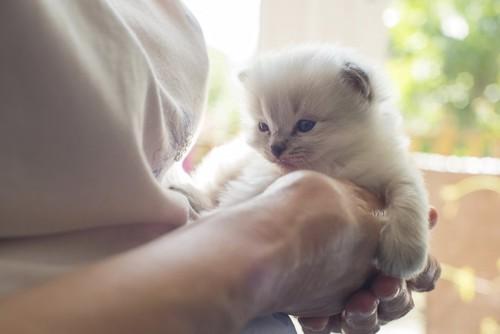 女性の手に抱かれるラグドールの子猫