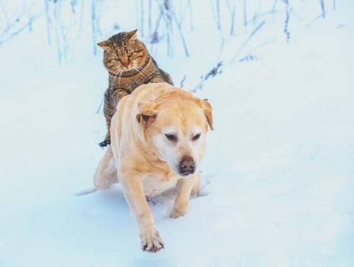 雪道で犬におんぶされている猫