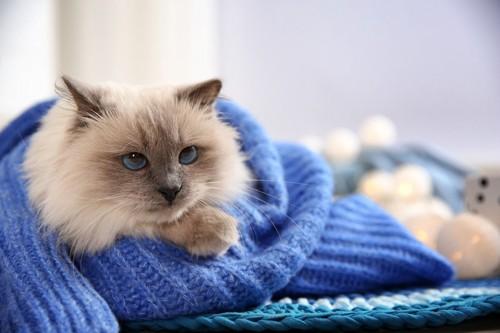 セーターにくるまる猫