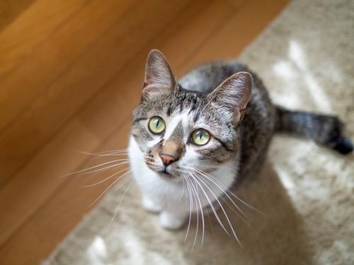 床のマットの上から見上げている猫