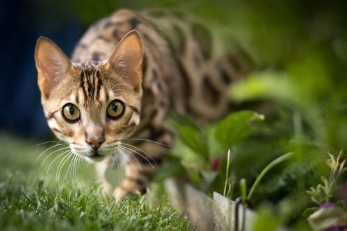 芝生で何かを狙っている猫
