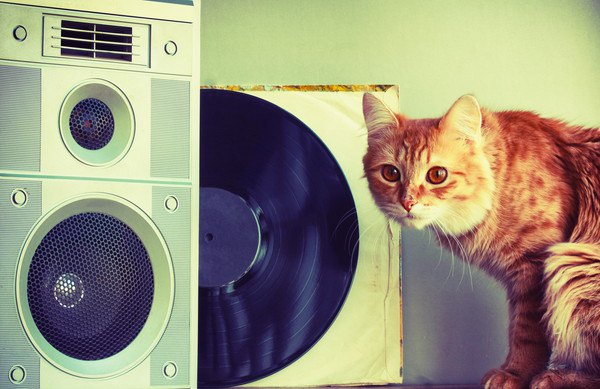 音楽を聴く猫