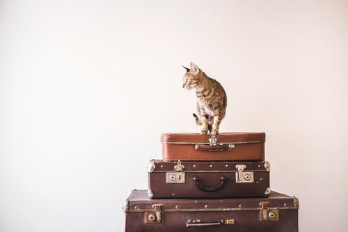 旅行鞄の上に乗って飼い主の外出を阻止する猫