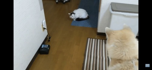 犬と見つめ合う猫