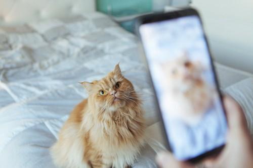 スマホにカメラ目線の猫