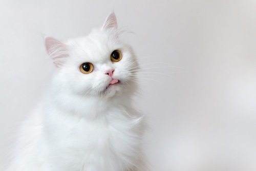 舌を出している白猫