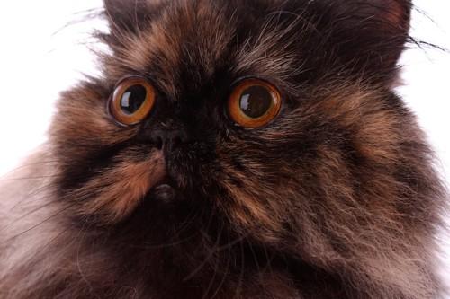 大きな瞳のサビ柄のペルシャ