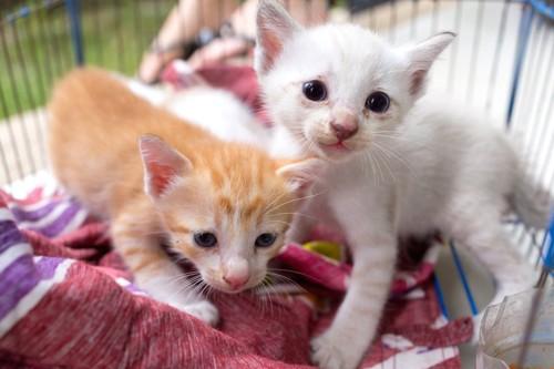 ケージの中の二匹の子猫