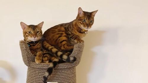 青い鈴の猫の上に座る黄色い首輪の猫