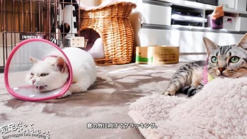 伏せしたまま鳴く白猫