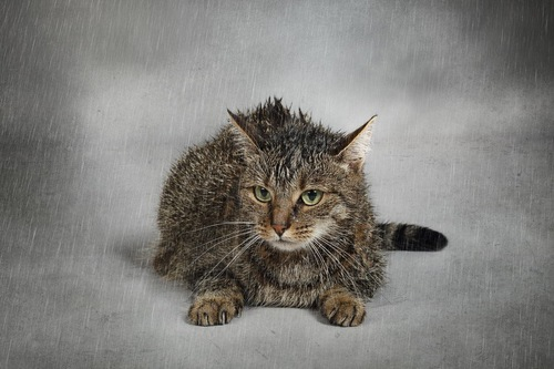 雨に濡れる猫