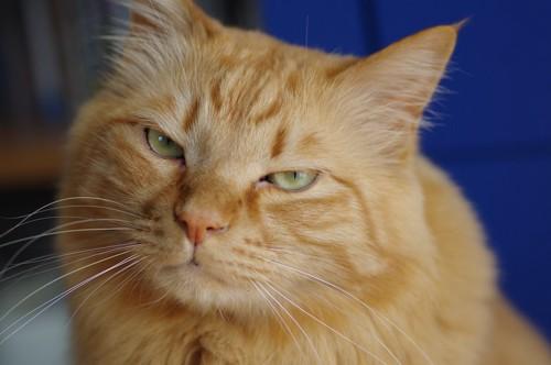 怒ったような表情で見つめる茶トラ猫