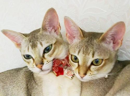 顔を寄せ合うシンガプーラの猫2匹