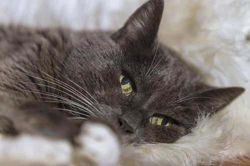 毛布の上で横になっている猫