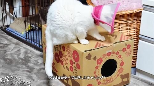 箱の上でガムテープを剥がそうとする猫