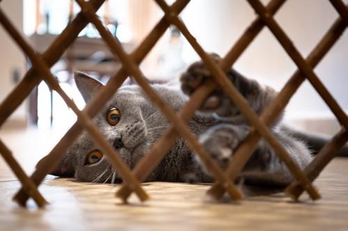 柵の向こう側で横になる猫