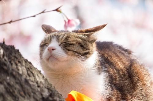 桜の花と猫
