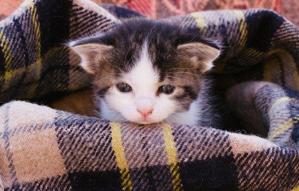 ブランケットにいる子猫