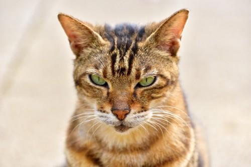 怒った顔で見つめる猫