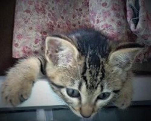 テレビの上から身を乗り出す子猫