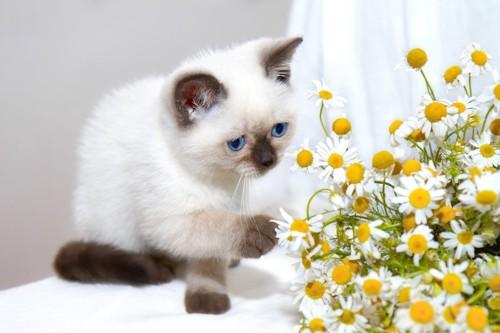 カモミールの花に手を伸ばす猫