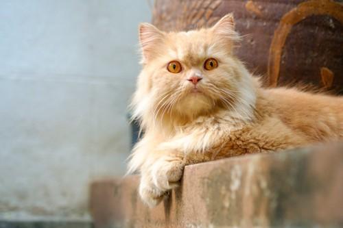 金色のペルシャ猫