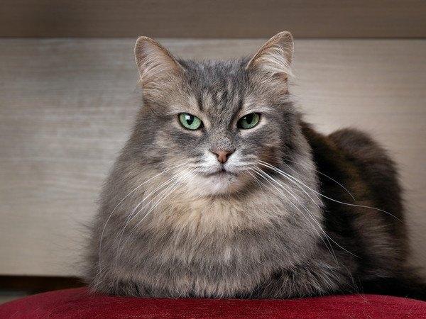 香箱座りで前足が見えなくなっている緑色の目の猫