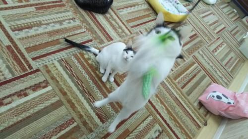 おもちゃで遊ぶ猫スタッフ