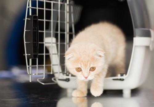 キャリーケースから出てくるスコティッシュフォールドの子猫