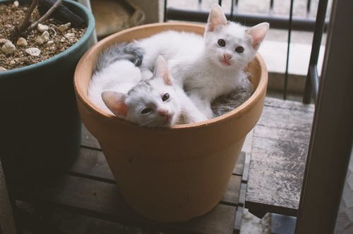 植木鉢の中で寛ぐ二匹の子猫