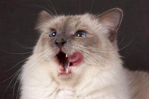 舌なめずりをする猫の顔アップ