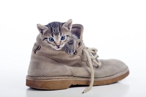 靴の中に入って遊ぶ子猫