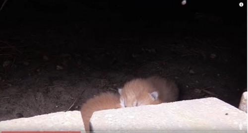 チャトラの子猫たち