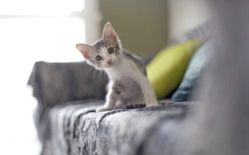 ソファーの上で首をかしげる子猫