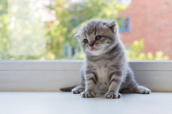 窓際に座るスコの子猫