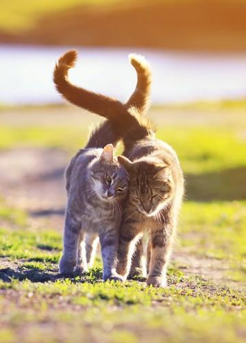 しっぽを絡ませて寄り添って歩く2匹の猫