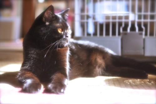 日向ぼっこする黒猫