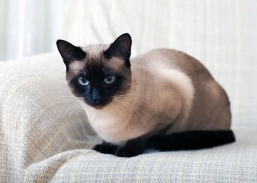 ソファの上のシャム猫