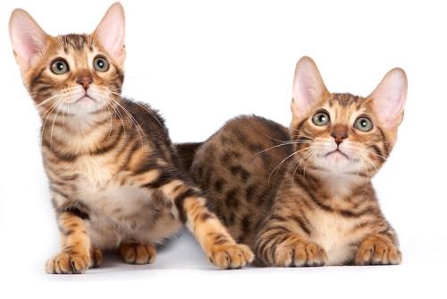 何かを見つめる二匹のベンガルの子猫