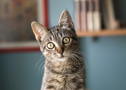正面をむいている猫