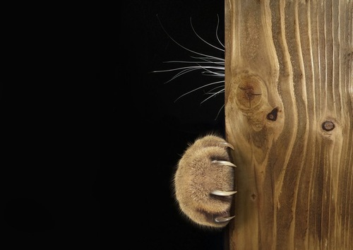 爪を出した手を出す猫