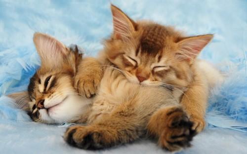 くっついて眠る二匹のソマリの子猫