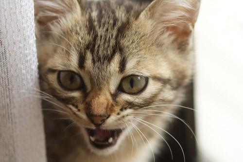 カーテンの影から鳴く猫