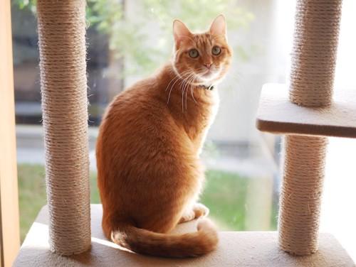 キャットタワーに座って振り返る茶トラ猫